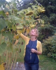 The nodding sunflowers