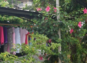Hibiscus and Saturday morning laundry