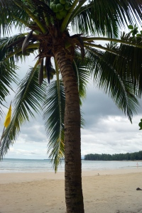 Coconuts hidden under massive fronds