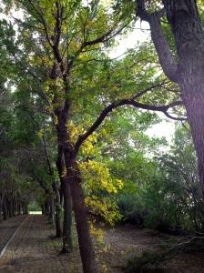 Towering elms