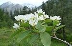 220px-Amelanchier_alnifolia_var._semiintegrifolia_4
